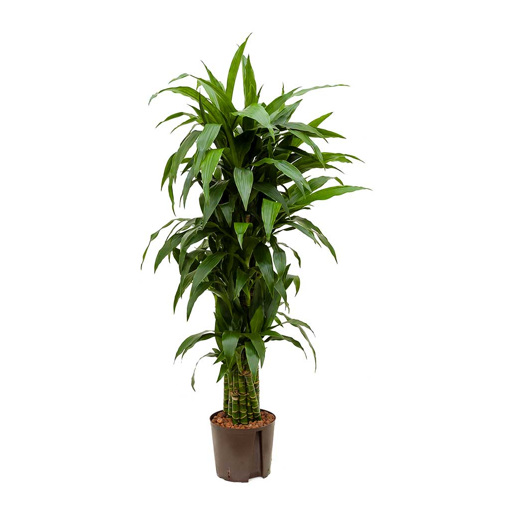 Dracaena Janet Craig Branched Hydroculture Indoor Plant