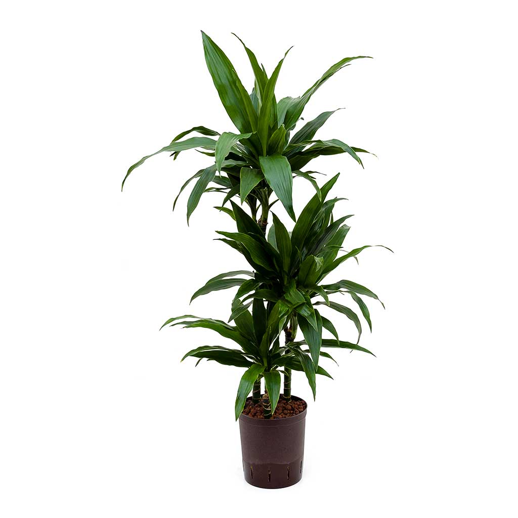 Dracaena Janet Craig Hydroculture Indoor Plant 3 Stems Tall