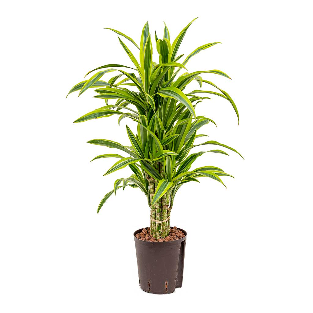 Dracaena Lemon Lime Branched Hydroculture Indoor Plant
