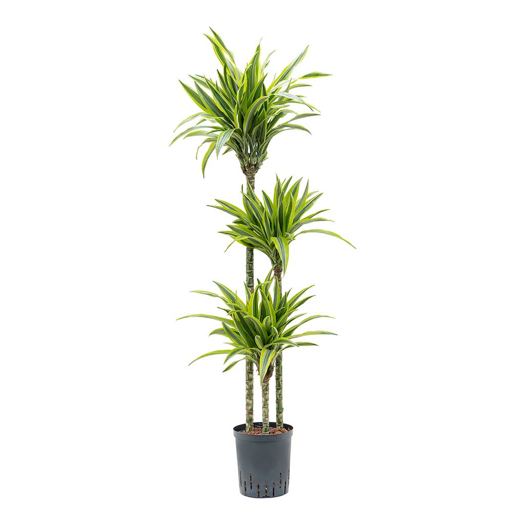 Dracaena Lemon Lime Hydroculture Indoor Plant 3 Stems Tall
