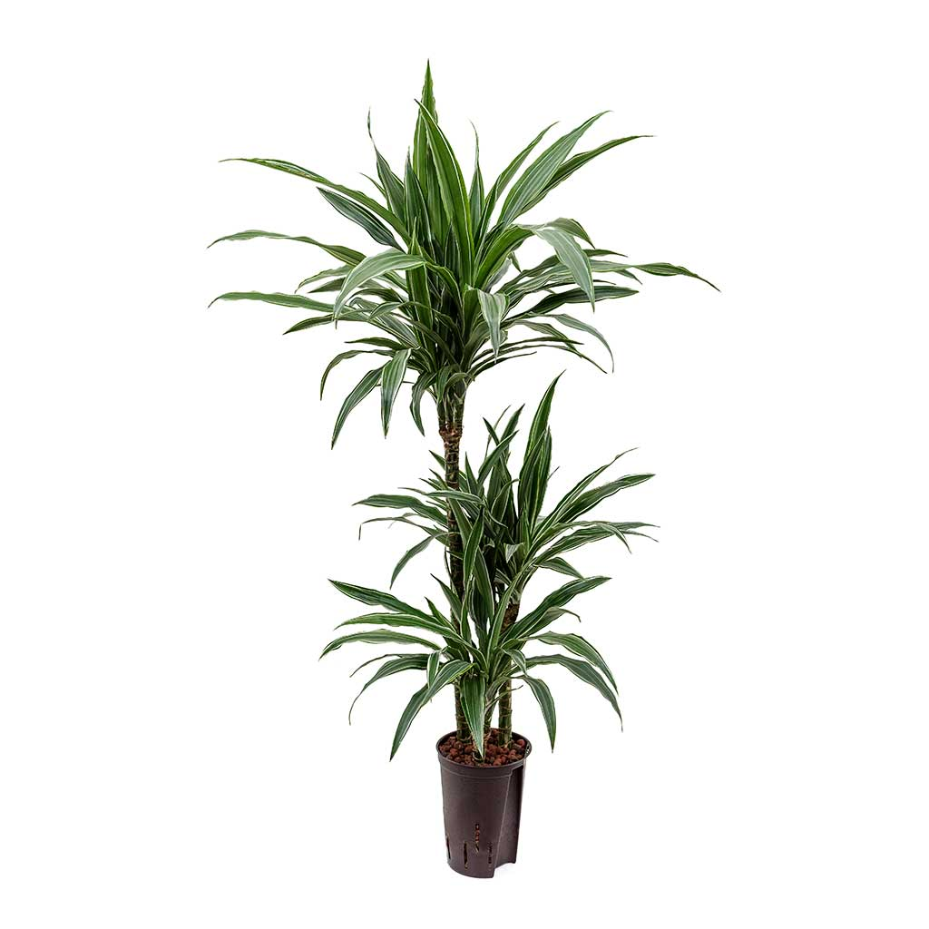 Dracaena Warneckii Multi-Stem Hydroculture Indoor Plant 3 Stems