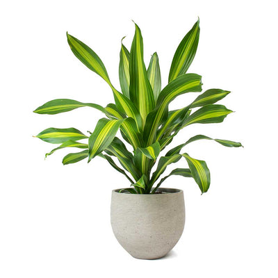 Dracaena fragrans Burley & Mini Orb Cement Plant Pot