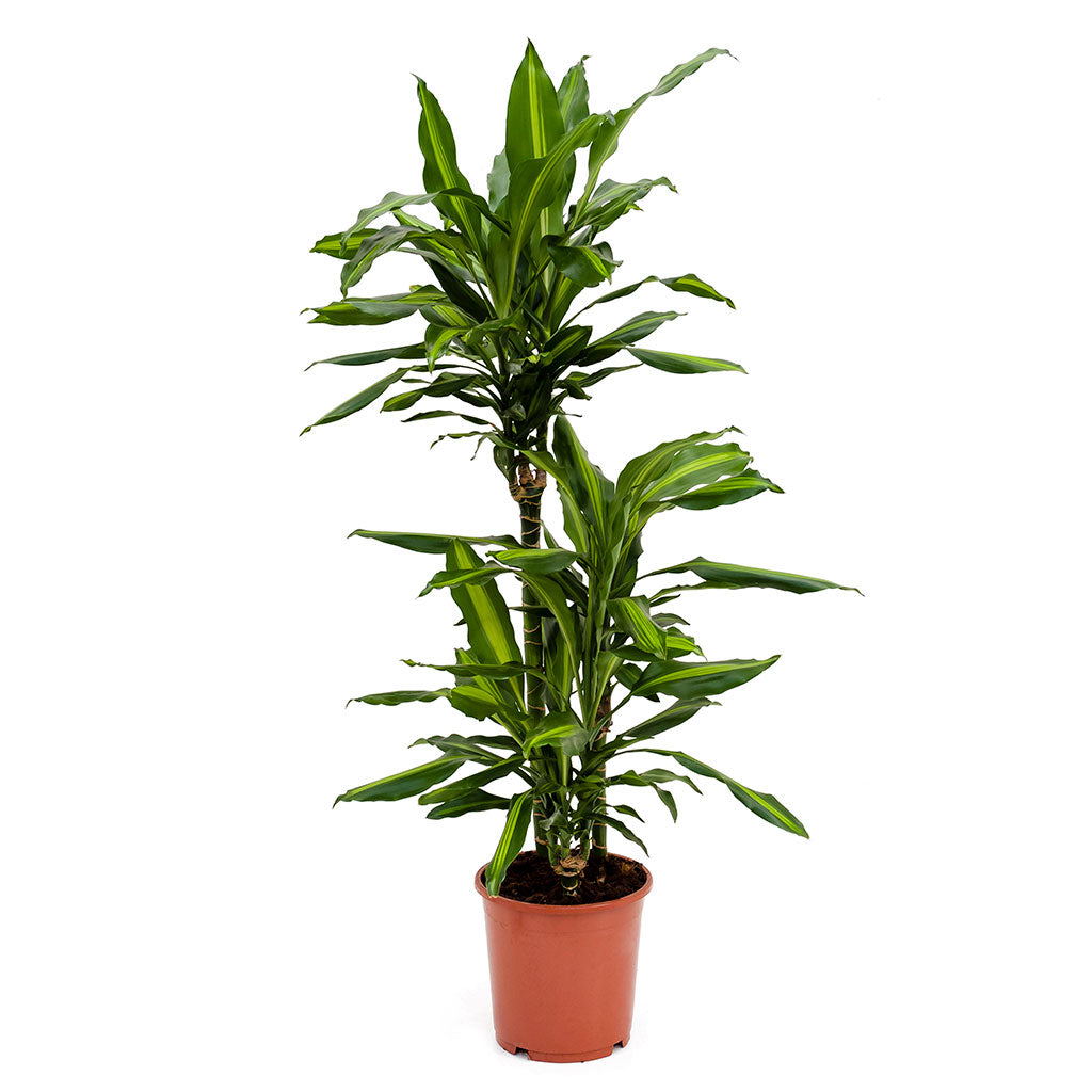 Dracaena fragrans Cintho - Multi Stem - 100cm