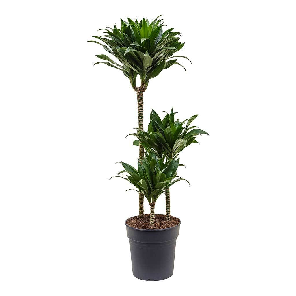 Dracaena fragrans Compacta - Multi Stem - 80cm