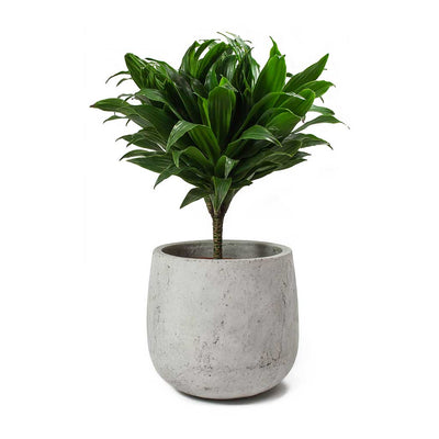 Dracaena fragrans Compacta - Single Stem & Amber Plant Pot Light Grey