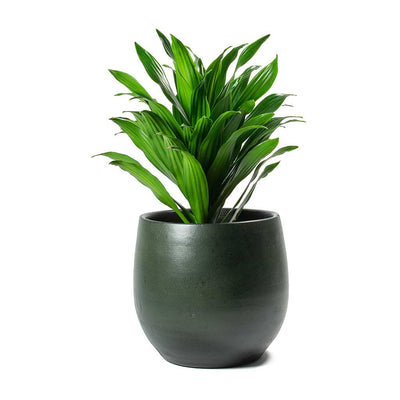 Dracaena fragrans Compacta Head & Esra Plant Pot Dark Green