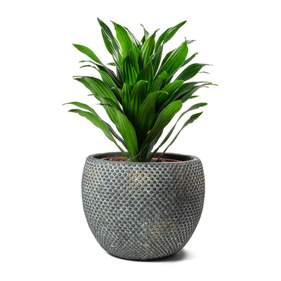 Dracaena fragrans Compacta Head Large & Fay Plant Pot Blue Gold
