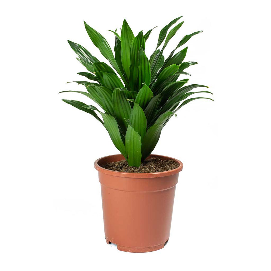 Dracaena fragrans Compacta - Head