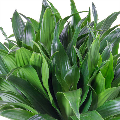 Dracaena fragrans Compacta - Single Stem Leaves
