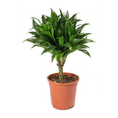 Dracaena fragrans Compacta - Single Stem