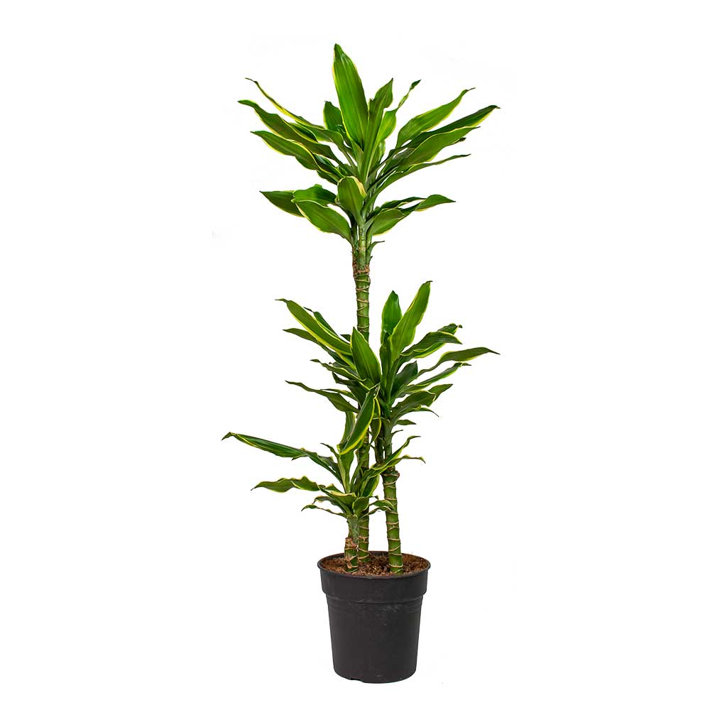 Dracaena fragrans Golden Coast - Multi Stem