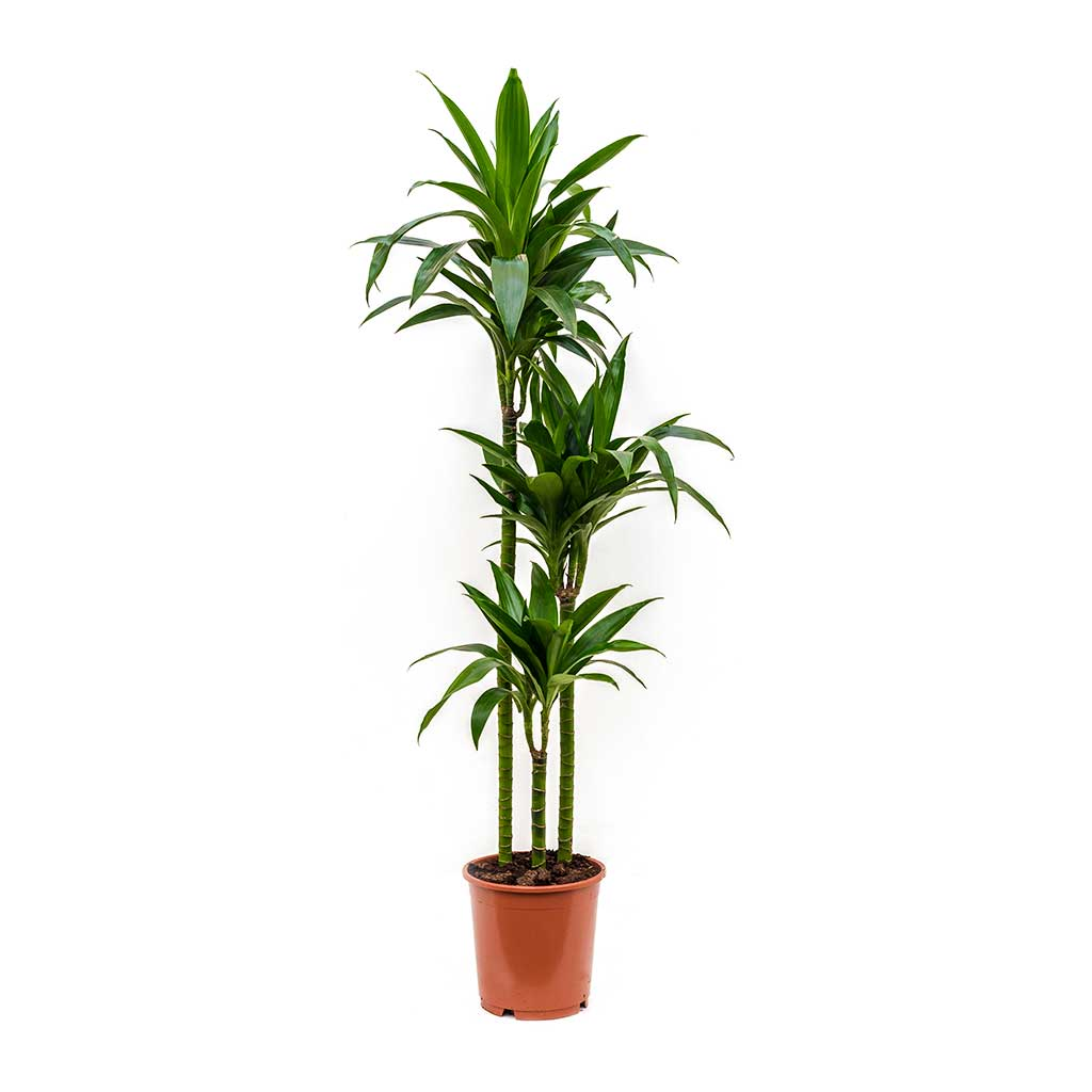 Dracaena fragrans Janet Craig - Multi Stem