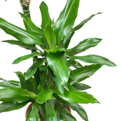 Dracaena fragrans Janet Lind Leaves