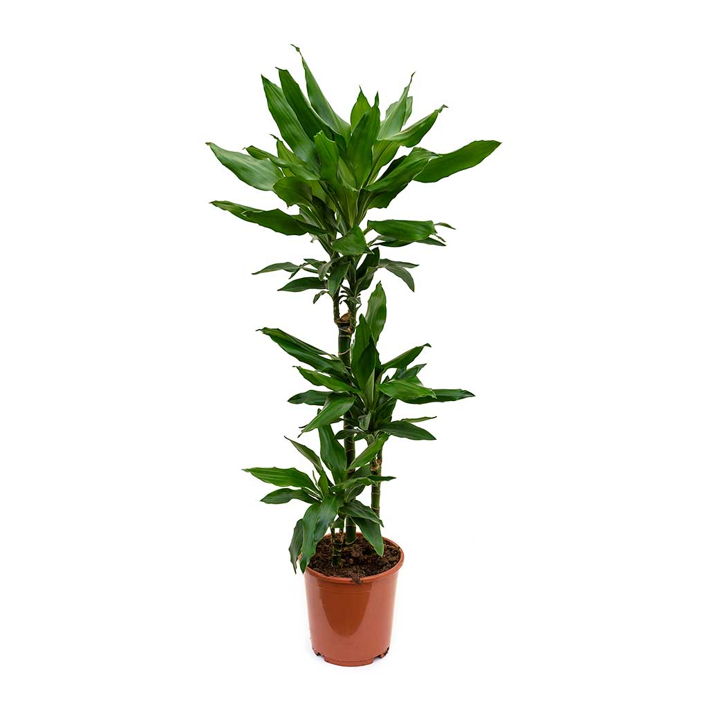 Dracaena fragrans Janet Lind - Multi Stem