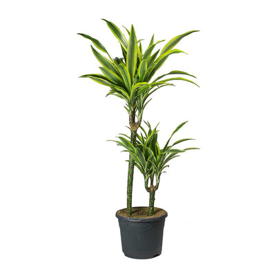 Dracaena fragrans Lemon Lime - 2 Stem