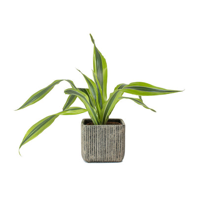 Jari Square Planter - Vintage & Dracaena Lemon Lime Head