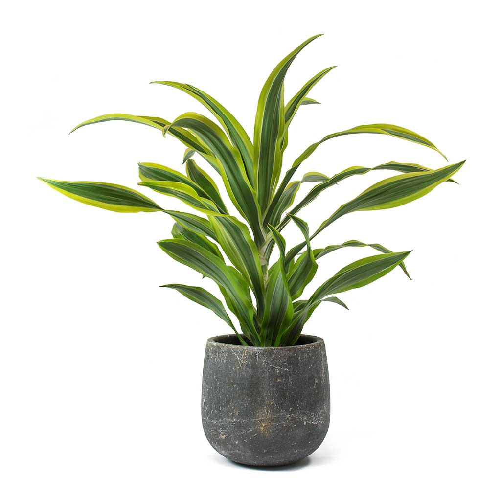 Dracaena fragrans Lemon Lime - Head - Large