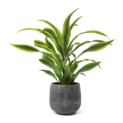 Dracaena fragrans Lemon Lime - Head & Amber Earth Plant Pot