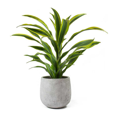 Dracaena fragrans Lemon Lime - Head & Amber Grey Plant Pot