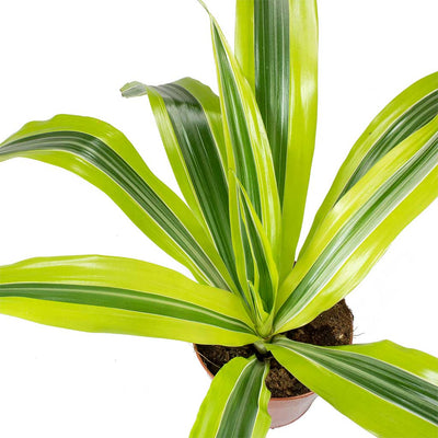 Dracaena fragrans Lemon Lime - Head Leaves