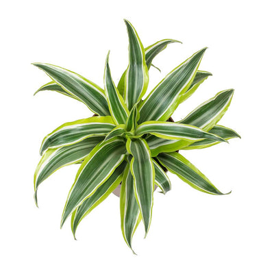 Dracaena fragrans Lemon Lime - Head - Small Leaves