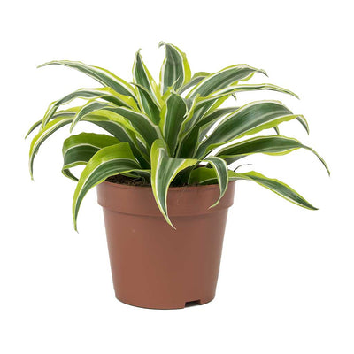 Dracaena fragrans Lemon Lime - Head - Small