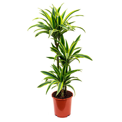 Dracaena fragrans Lemon Lime - Multi Stem 110cm