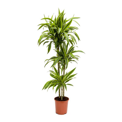 Dracaena fragrans Lemon Lime - Multi Stem 130cm
