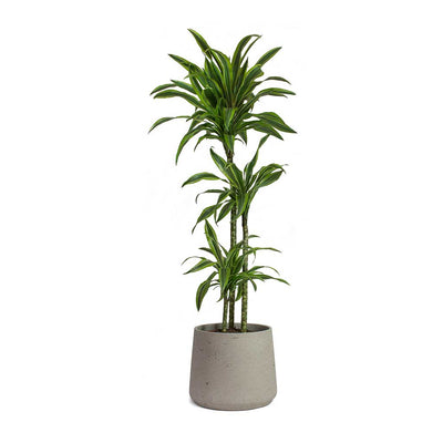 Dracaena fragrans Lemon Lime Multi Stem & Patt Plant Pot Grey Washed