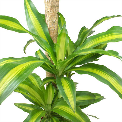 Dracaena fragrans Massangeana Leaves