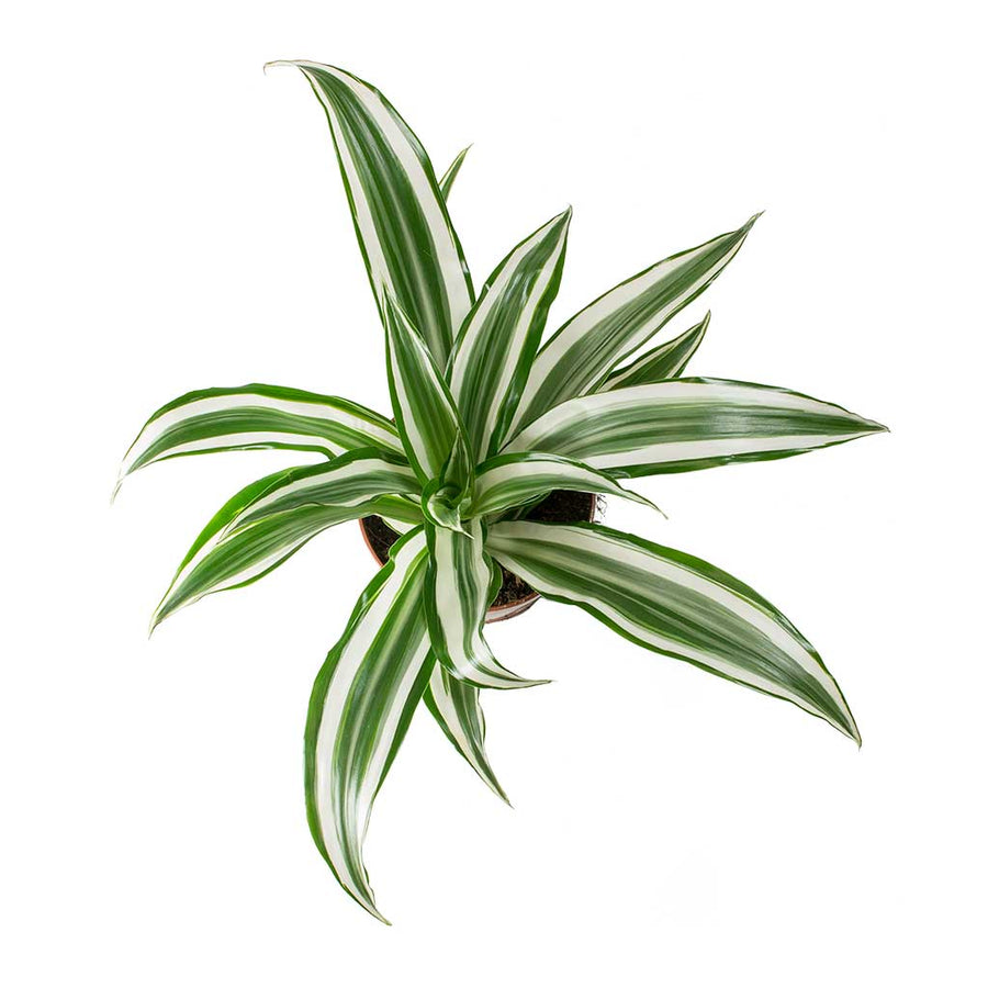 Dracaena fragrans White Jewel - Head