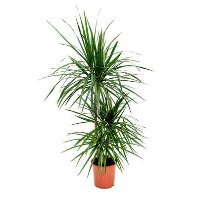 Dracaena marginata Red Edged - Multi Stem 115cm