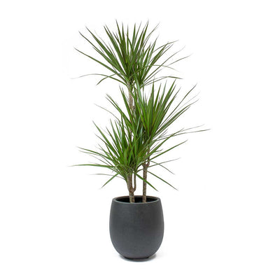 Dracaena marginata Red Edged Multi Stem Balloon Plant Pot Anthracite Concrete