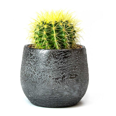 Echinocactus grusonii - Golden Barrel Cactus 18cm & Esra Lead Plant Pot
