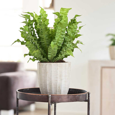 Ellis Plant Pot - Sand with crispy wave fern