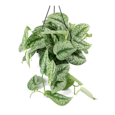 Epipremnum Trebie - Satin Pothos Trebie - Hanging Leaves