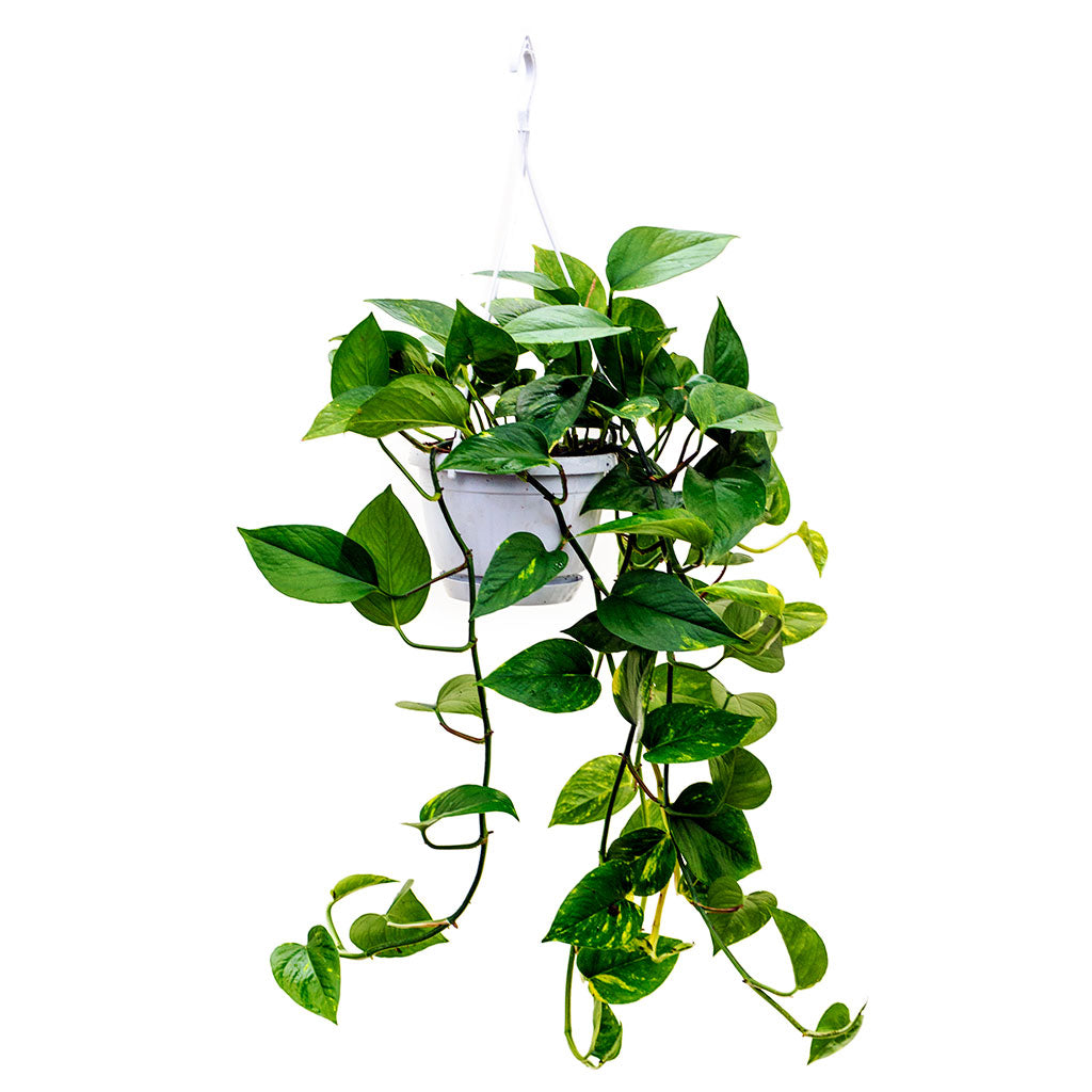Image result for pothos