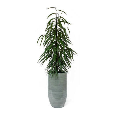 Ficus Alii Long Leafed Fig & Cresta Tall Plant Vase - Ice Blue