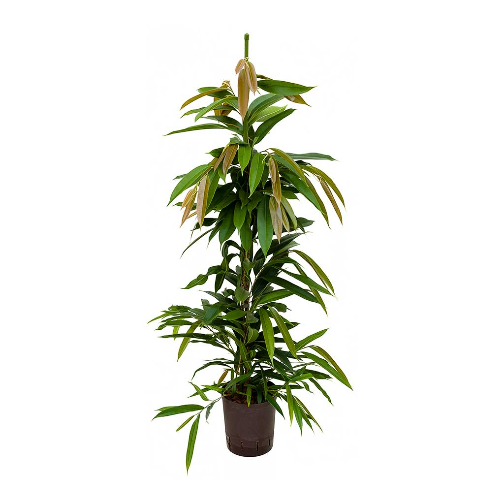 Ficus Amstel King Hydroculture Indoor Plant