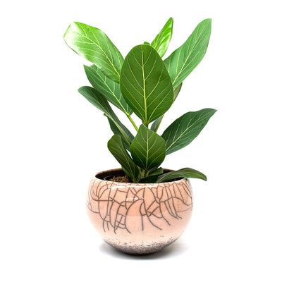 Ficus benghalensis Audrey - Bengal Fig Ficus benghalensis Audrey - Bengal Fig Leaves Quality Assured Houseplants From Hortology Ficus benghalensis Audrey - Bengal Fig & Lund Raku Plant Bowl Taupe