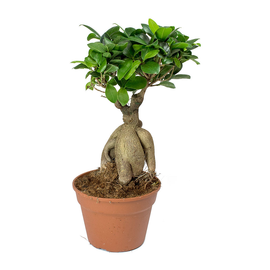 Ficus Ginseng - Indian Laurel 40cm