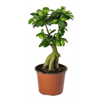 Ficus Ginseng - Indian Laurel