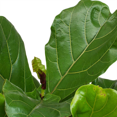 Ficus Lyrata New Leaves