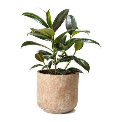 Ficus Melany Rubber Plant & Saar Terra Red Plant Pot