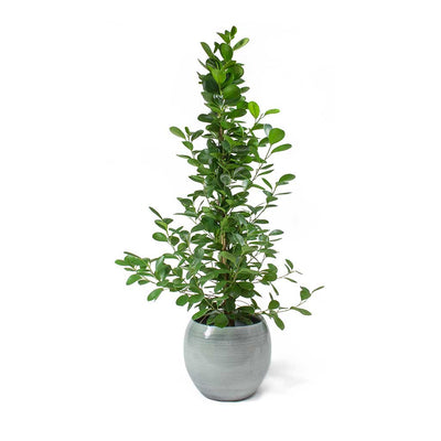 Ficus Moclame - Indian Laurel & Cresta Ice Blue Plant Pot