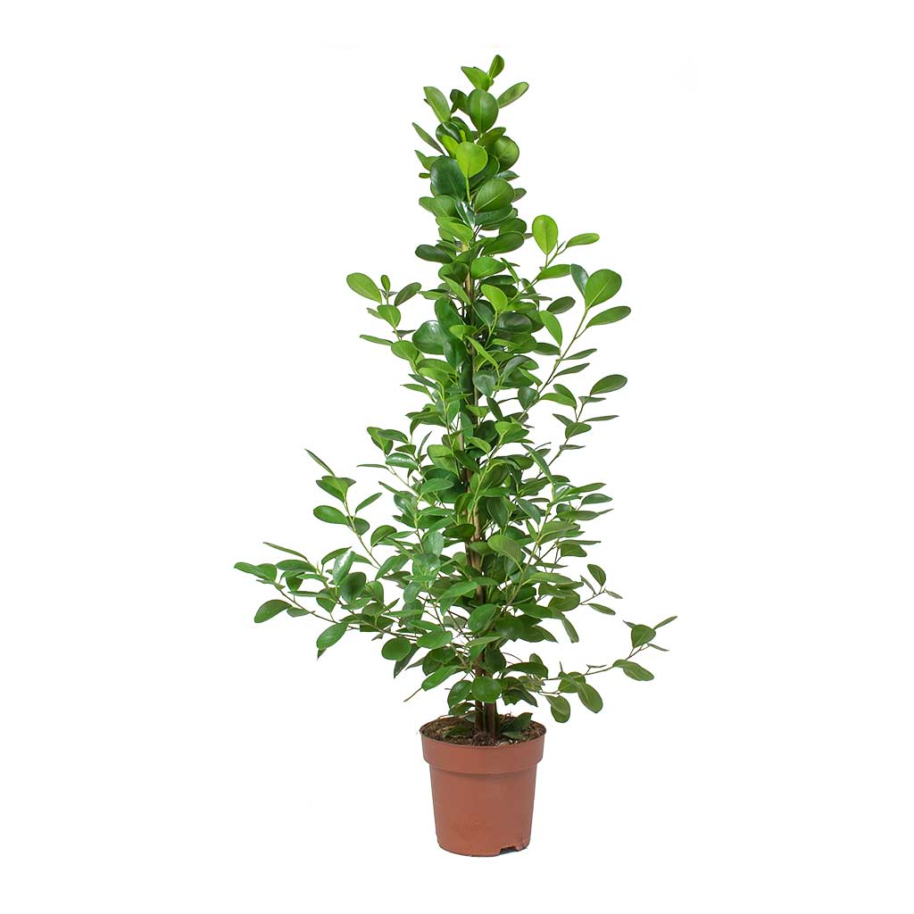 Ficus Moclame - Indian Laurel