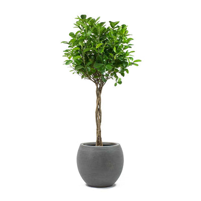 Ficus Moclame Indian Laurel Twisted Stem & Abby Ball Plant Pot Ridged Dark Grey