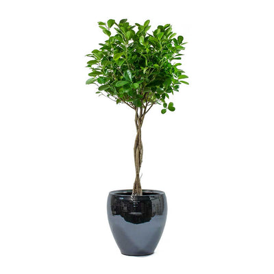 Ficus Moclame Indian Laurel Twisted Stem & Amora Plant Pot Anthracite Mirror