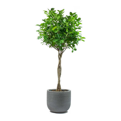 Ficus Moclame Indian Laurel Twisted Stem & Dice Plant Pot Ridged Dark Grey