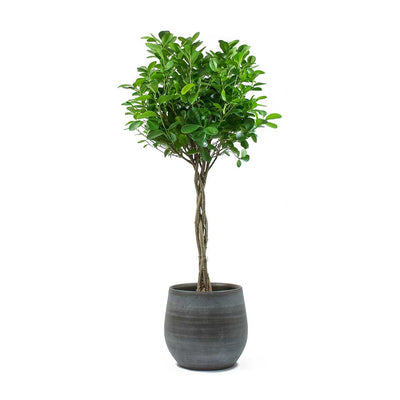 Ficus Moclame Indian Laurel Twisted Stem & Esra Mystic Grey Plant Pot